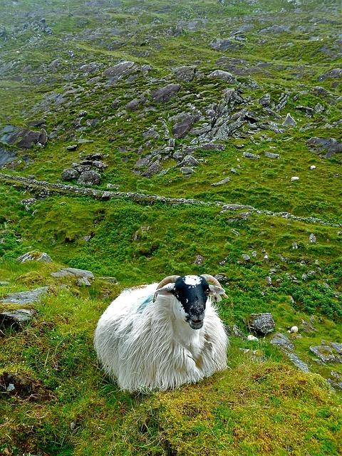 sheep-272593_640.jpg