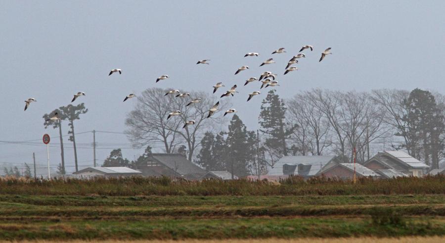 2012-12-8ハクガンIMG_6440
