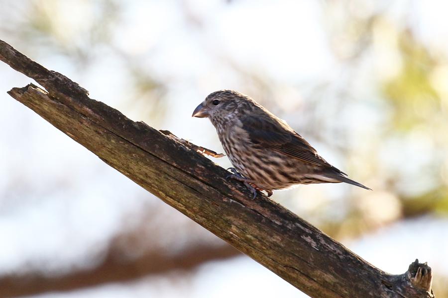 2017-2-25イスカ幼鳥T84A9403