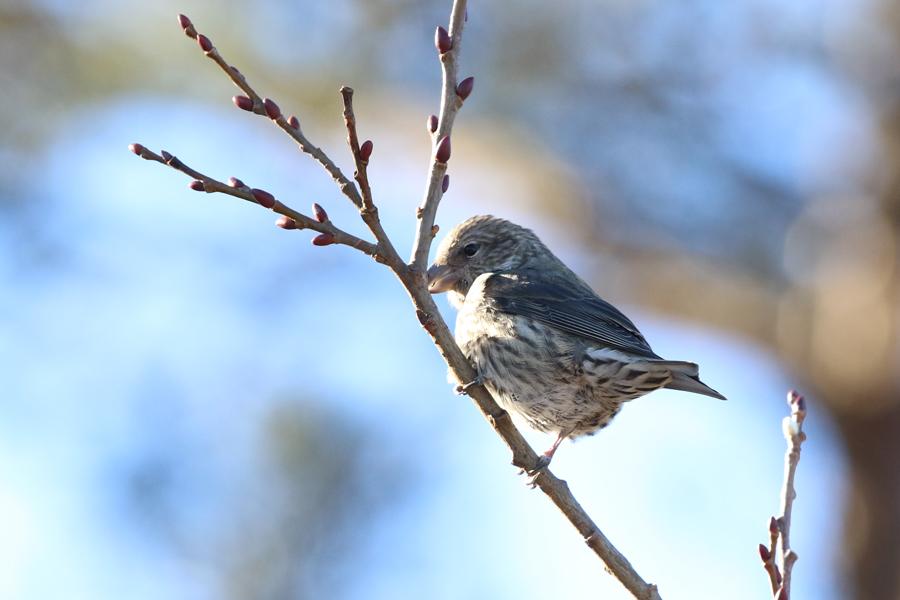 2017-2-25イスカ幼鳥T84A8684