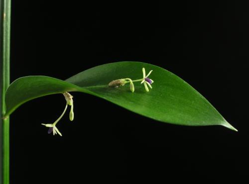 Ruscus_hypophyllum02.jpg