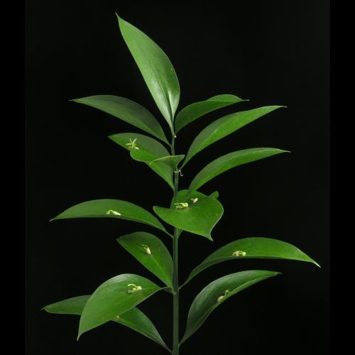 Ruscus_hypophyllum03.jpg