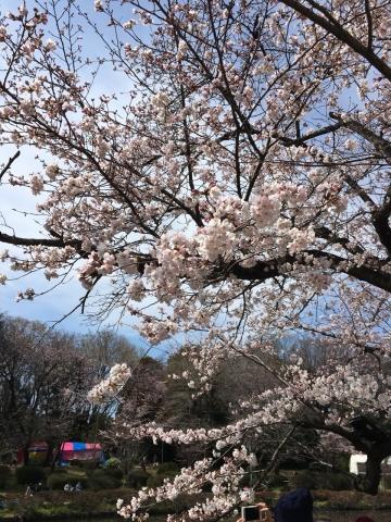 城址公園桜2017 2