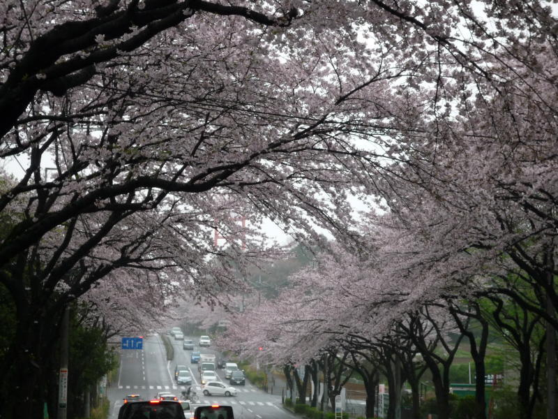 20170409-1-桜1