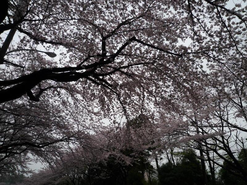 20170409-2-桜2
