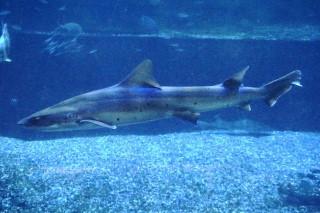 ドチザメ(知多)