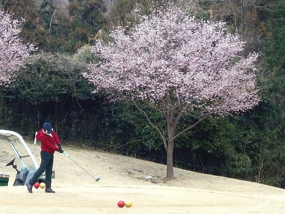 170323久邇カントリークラブ・河津桜-2