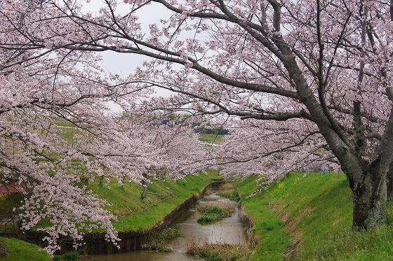 170409千本桜-1