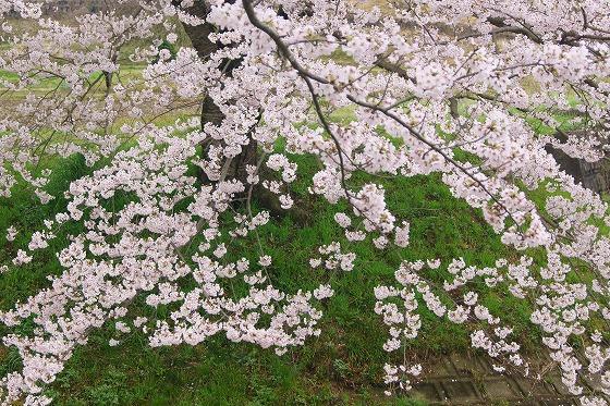 170409千本桜-3