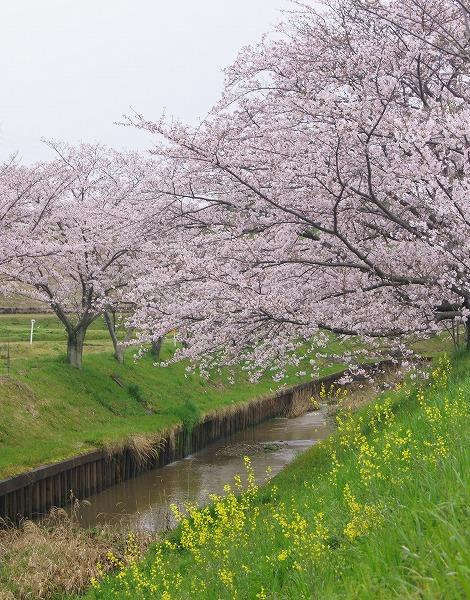 170409千本桜-4