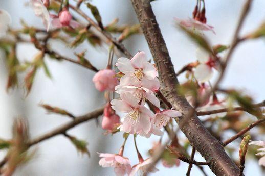 IMG_0105花笠桜