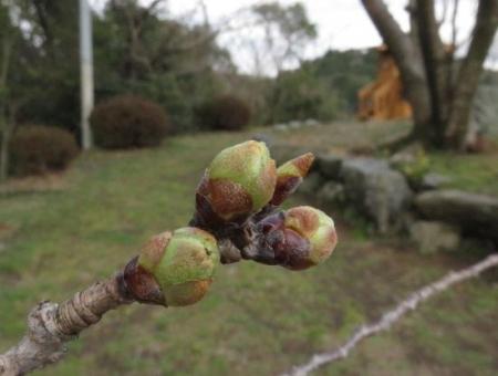 清水の桜 020