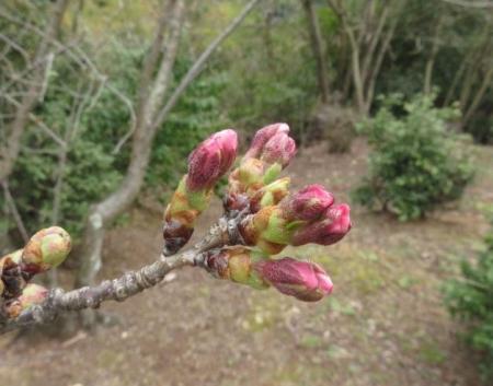 25日清水の桜 027