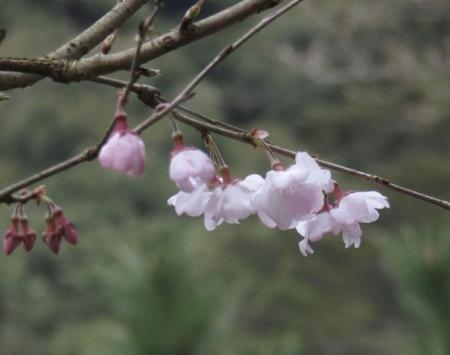 25日清水の桜 047