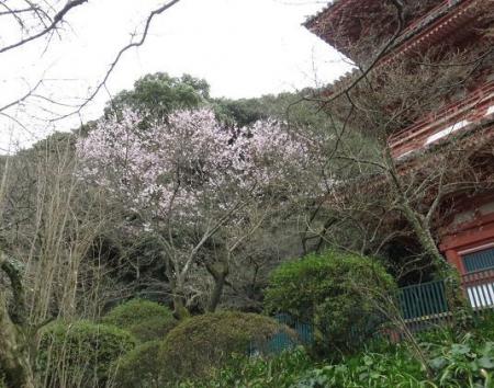 25日清水の桜 064