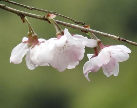 25日清水の桜 049