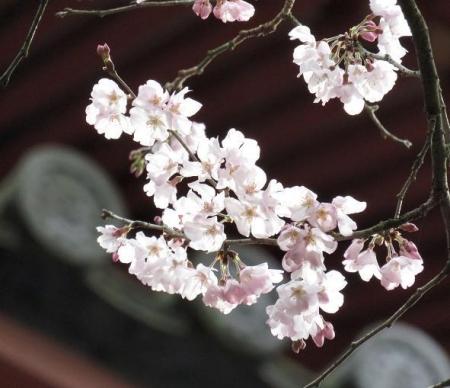 25日清水の桜 052