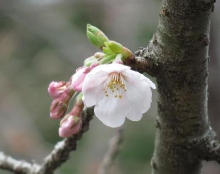 26日女山桜開花 052