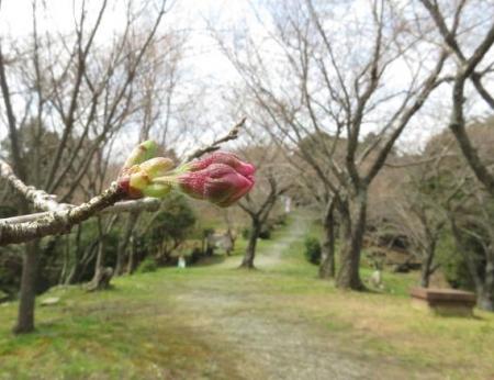 26日女山桜開花 069