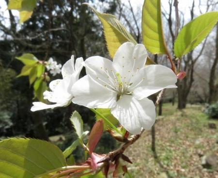 26日女山桜開花 032
