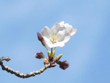 28日大川ヒヨと清水桜 125