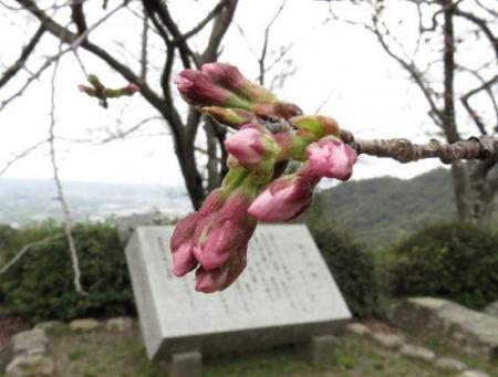 26日女山桜開花 081