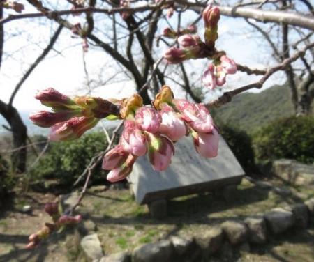 28日大川ヒヨと清水桜 104