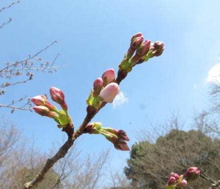 28日大川ヒヨと清水桜 102