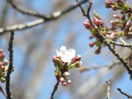28日大川ヒヨと清水桜 113