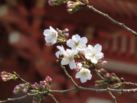 28日大川ヒヨと清水桜 154