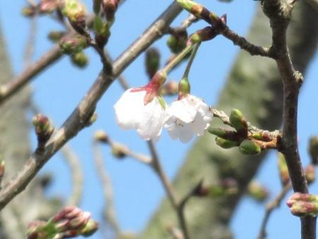 28日大川ヒヨと清水桜 166