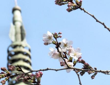 28日大川ヒヨと清水桜 149