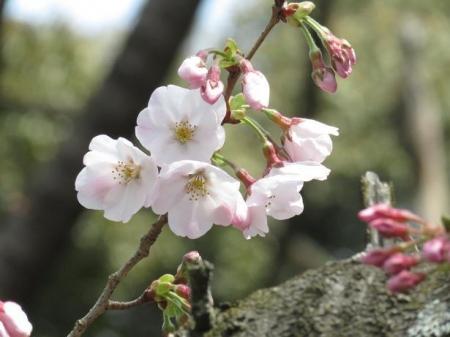 桜30日清水山 088