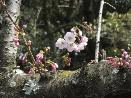 桜30日清水山 087