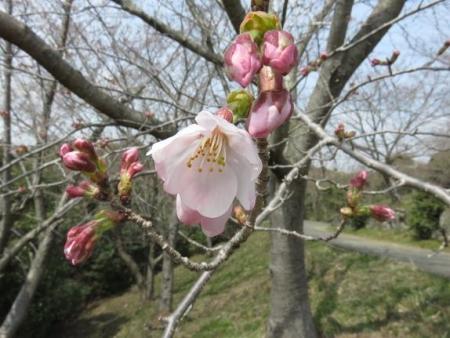 桜30日清水山 114