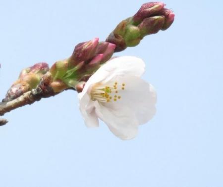桜30日清水山 103