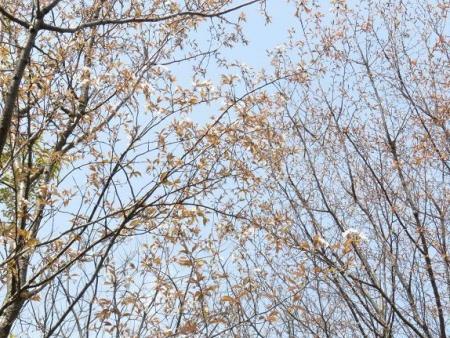 桜30日清水山 130