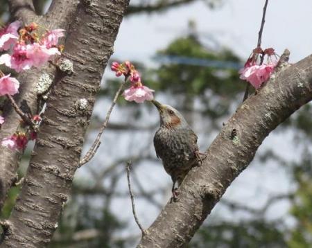 28日大川ヒヨと清水桜 043