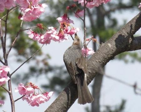 28日大川ヒヨと清水桜 038