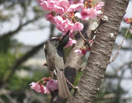 28日大川ヒヨと清水桜 050