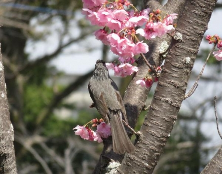 28日大川ヒヨと清水桜 049