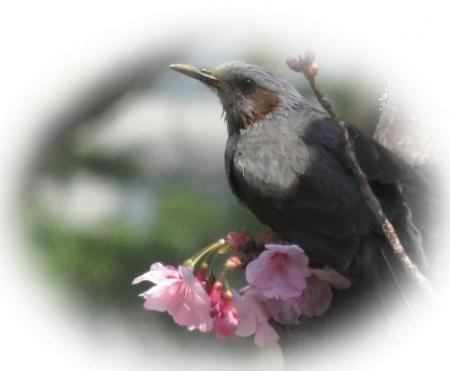 28日大川ヒヨと清水桜 046