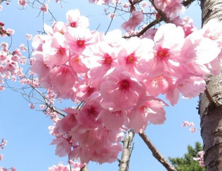 28日大川ヒヨと清水桜 069