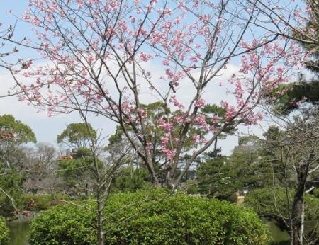 28日大川ヒヨと清水桜 026