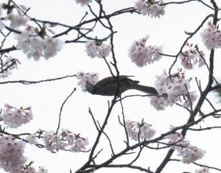 アトリ8日大川公園 015