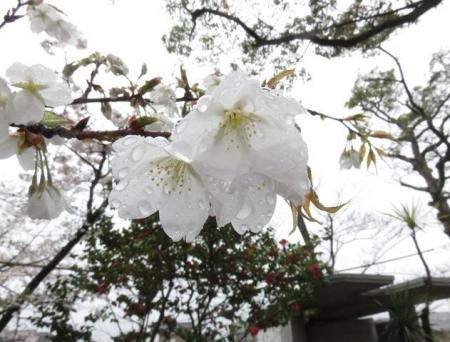 アトリ8日大川公園 007