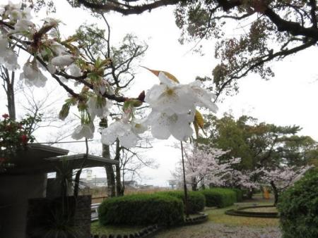 アトリ8日大川公園 009