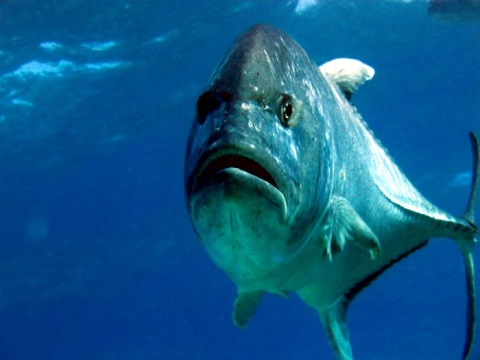 Giant_trevally_head-on.jpg