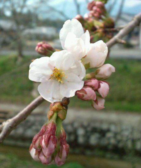 2017,3,30の桜1