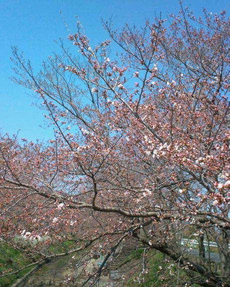 2017,4,2の桜3